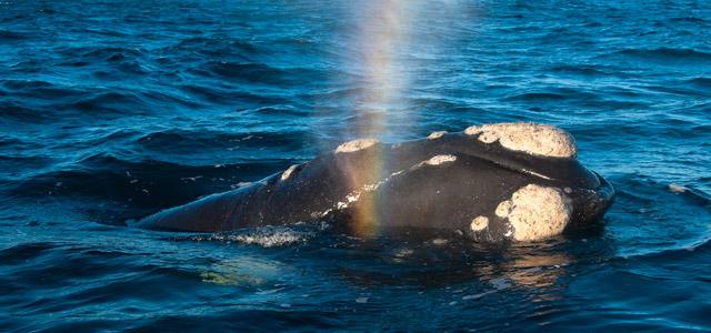 Baleias Francas aparecem nas águas quentes da Praia do Rosa para procriarem