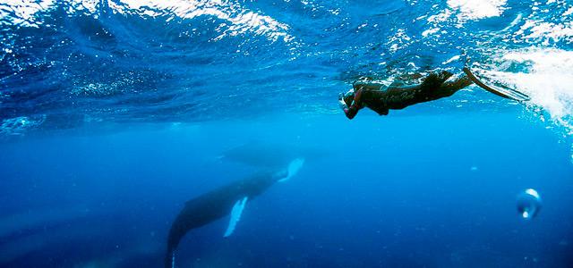 As Baleias Jubarte já totalizam uma população de 20 mil na região de Abrolhos