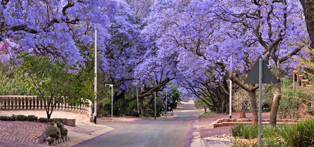 Jacarandás em Pretória, África do Sul