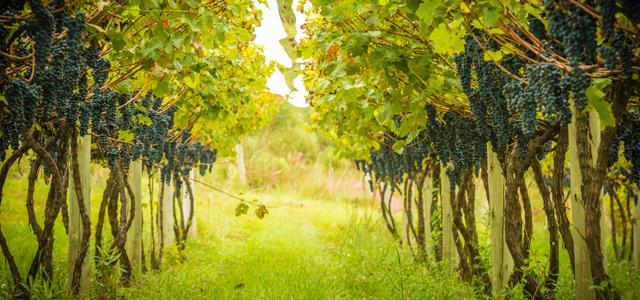 vinhedo-zarpo