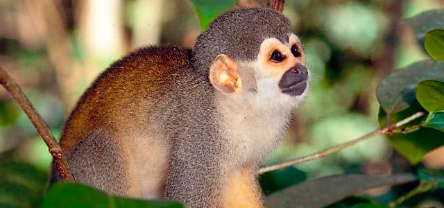 O mico e muitos outros animais você encontrará realizando as atividades oferecidas pelo Amazon EcoPark. Não perca jamais essa experiência!