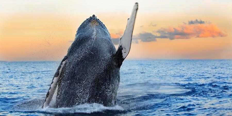 Quando o Brasil recebe a visita das Baleias Jubarte
