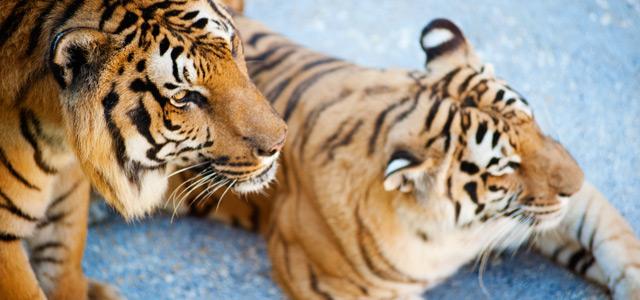 Tigres - Beto Carrero World
