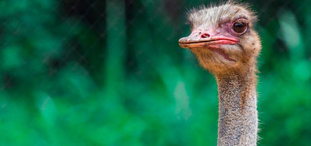 avestruz-Parque-do-Avestruz-zarpo-magazine