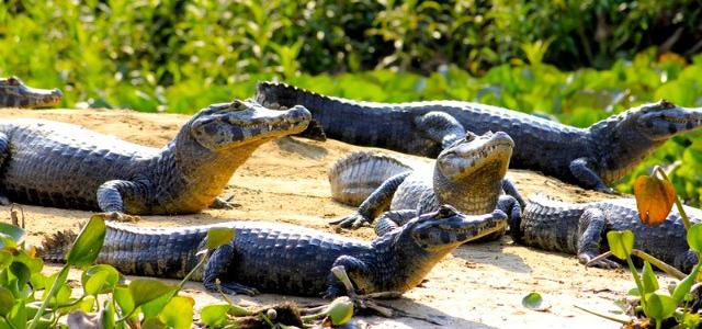 Pantanal Jungle - Pantanal