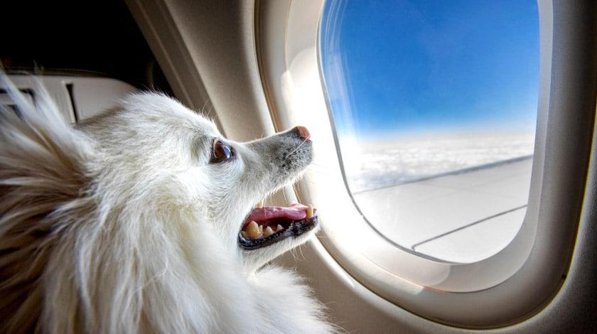 Viajar com o pet de avião