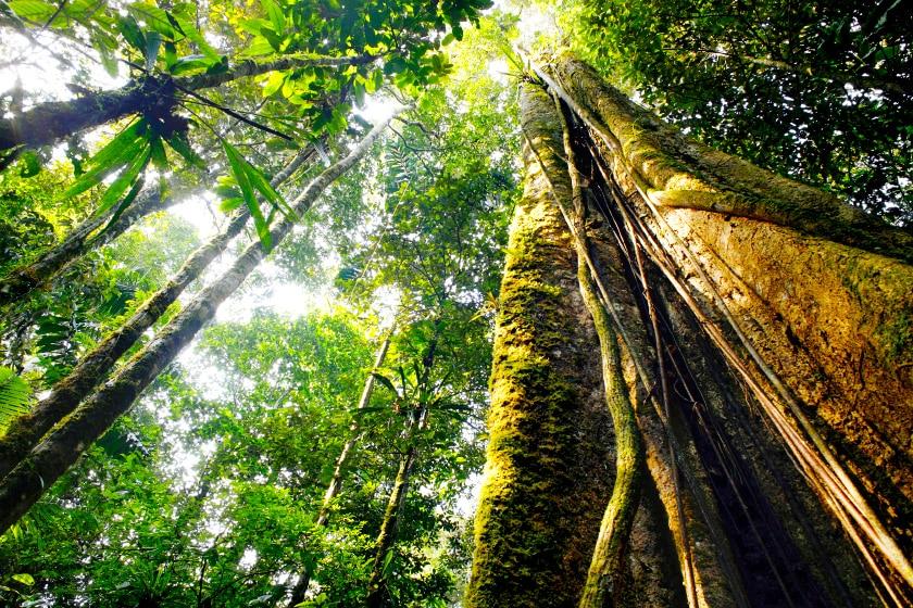 Foto de Sumaúma na Floresta Amazônica, no Norte do Brasil