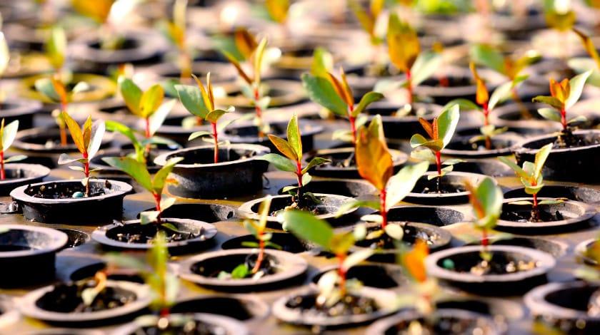 Mudas para plantio na região da Serra da Mantiqueira